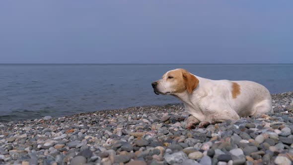 Thumbnail for Homeless Hungry Dog Preys on Pigeons and Lies on a Stone Shore of the Sea. Wild, Unhappy Stray Dog.