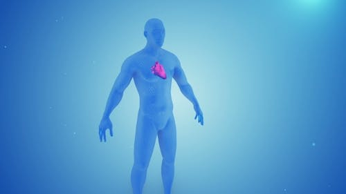 Heart Contractions in the Human Body 3D