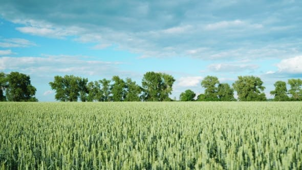 Cover Image for The Field of Still Not Ripe Wheat in Summer Day