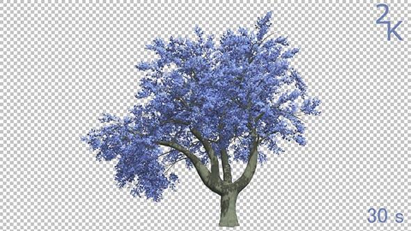 Thumbnail for Flowering Blue Tree