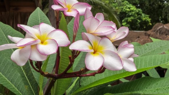 Thumbnail for Moving Branch of Lilac Plumeria Flower Covered By Some Drops After Tropical Rain, Shallow Depth of