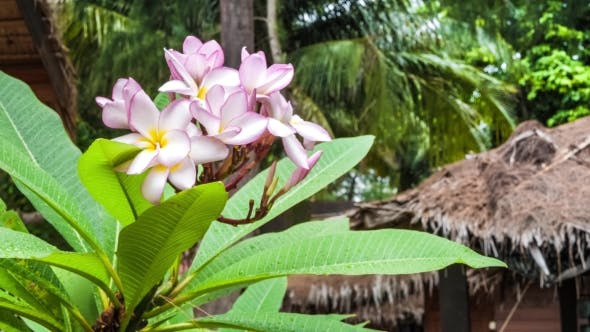 Thumbnail for Branch of Lilac Plumeria Flowers Just After Tropical Rain