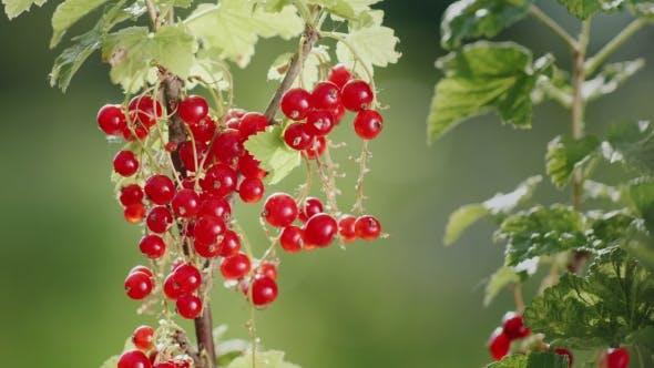Thumbnail for Juicy Berries of Red Currant