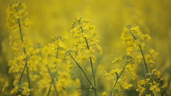 Thumbnail for Blooming Yellow Flowers Colza in Rapeseed Field
