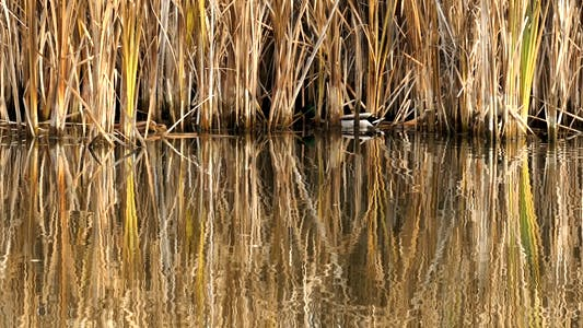 Thumbnail for Autumn Lake Grass With Hiding Duck