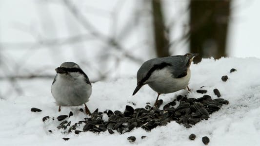 Thumbnail for Two Nuthatches On Snow