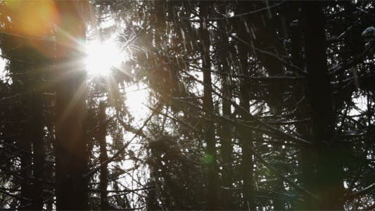 Thumbnail for Sun Rays Between Tree Trunks