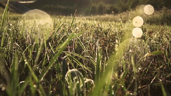 Thumbnail for Dew on Grass Early in the Morning