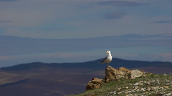 Thumbnail for Seagull Is Standing on a Rock