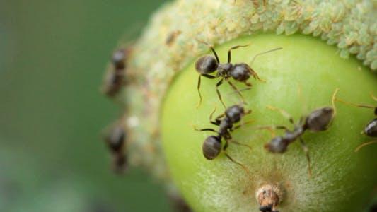 Ants On Acorns