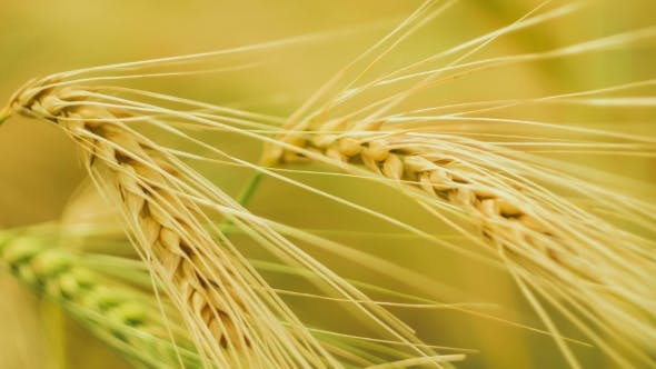 Thumbnail for of a Isolated Ripe Wheat Straws Waving in Wind