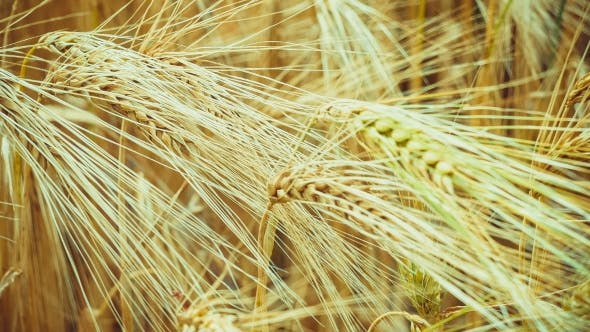 Thumbnail for Dry Golden Wheat Ears in Wind,