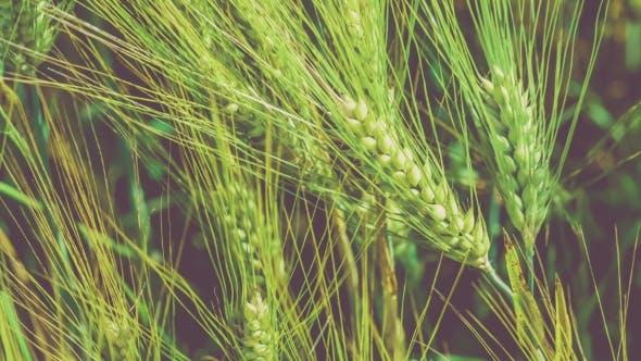Thumbnail for Wheat Lightend on Sunny Day, Motion on Slight Wind