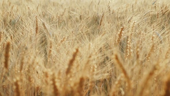 Thumbnail for The Yellow Field Is Mature, Ready To Harvest Wheat