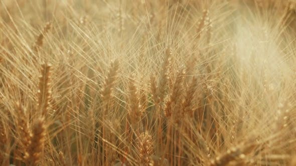 Cover Image for The Yellow Field Ready To Harvest Wheat