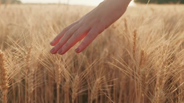 Thumbnail for Female Hand Over Spikelets of Bright Yellow Wheat
