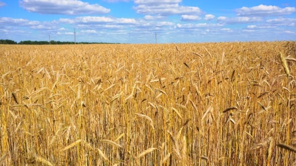 Cover Image for Golden Wheat Field