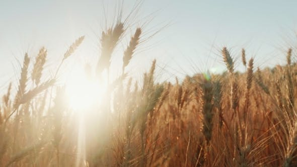 Cover Image for Spikelets of Wheat Prick in the Wind. The Setting Sun Shines Through the Wheat.   Video