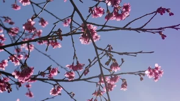 Thumbnail for Sakura Cherry Blossom