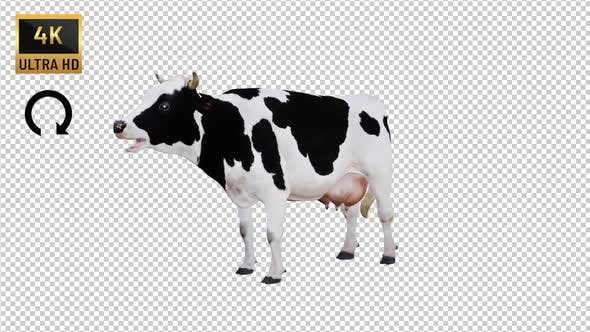 Cow İdle Front View