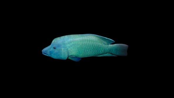 Thumbnail for Napoleon Fish Swim