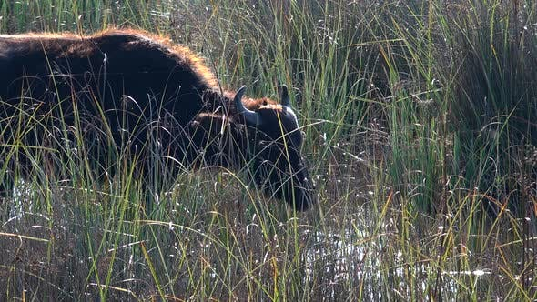 Buffalo in Puddle