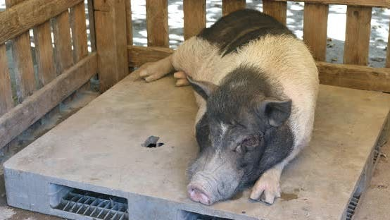 Thumbnail for Farm pig resting