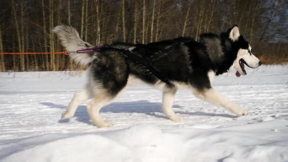 Siberian Huskies in race competitions