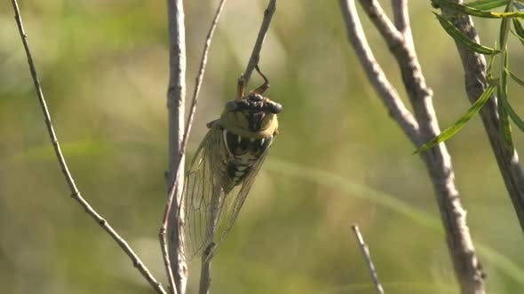 Thumbnail for Bush Cicada Adult Lone Resting Still in Summer in South Dakota