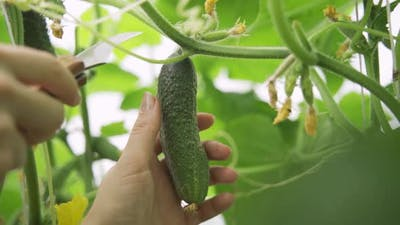 Woman Picks Cucumbers in Greenhouse