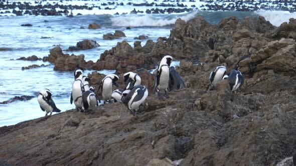 Penguin waddle on the rocks of Betty's Bay