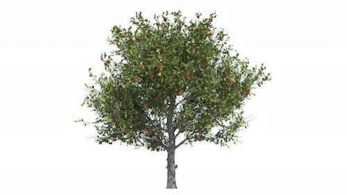 Apple Tree Loop