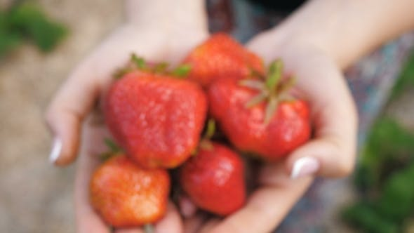 Thumbnail for Strawberries in the Hands of Woman