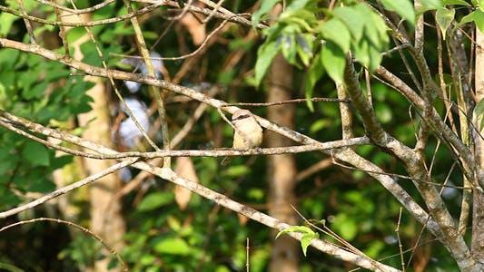 Thumbnail for Little Brown Shrike Full HD