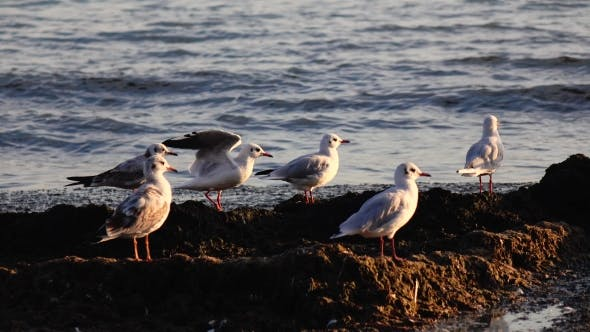 Thumbnail for Sea Gulls Stand on the Beach and Brush Their Feathers with Their Beaks