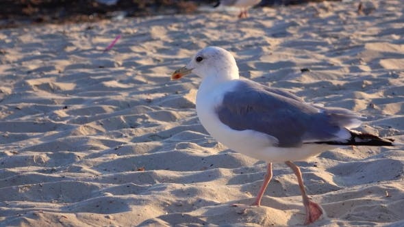 Cover Image for Gull Walks the Sand and Looks for Food on the Seashore