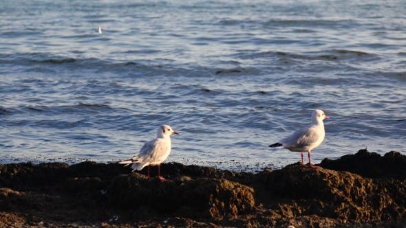 Thumbnail for Two Seagulls Stand on the Seashore and Look Down, Enjoy Nature