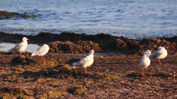Thumbnail for Many Seagulls Stand on the Beach and Brush Their Feathers with Their Beaks