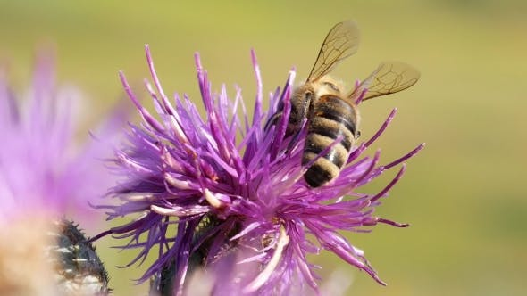 Thumbnail for Bee Landing on Thistle Flower And Gather Nectar