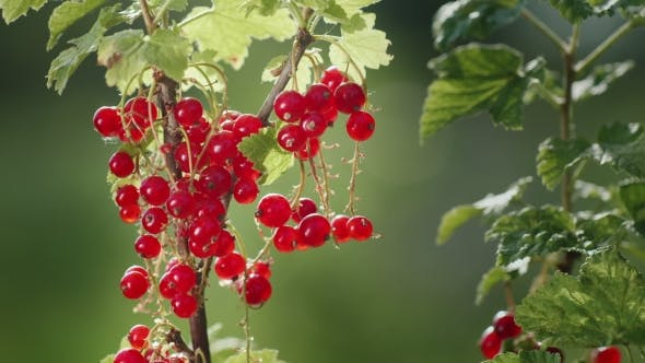Cover Image for Red Currant Berries on a Clear Sunny Day. The Source of Vitamins