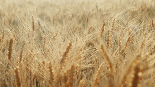 Thumbnail for The Field Ready To Harvest Wheat