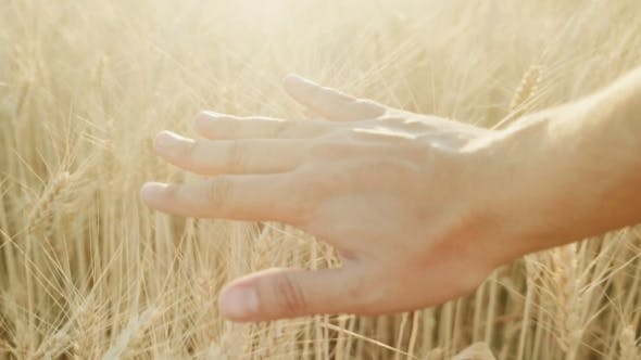 Thumbnail for A Man's Hand Looks at the Mature Spikelets of Yellow Wheat at Sunset