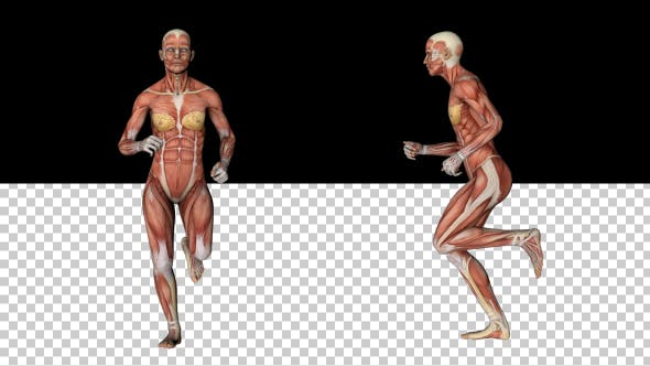 Thumbnail for Female Muscular System - Run Animation