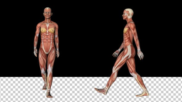 Thumbnail for Female Muscular System - Walk Animation