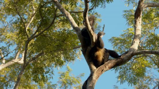 Mantled Howler Monkey Male Adult Lone Rubbing Back Scratching