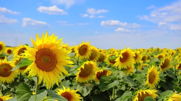 Cover Image for Video of Sunflowers Blooming Field
