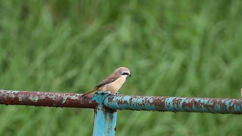 Brown Shrike By The Roadside