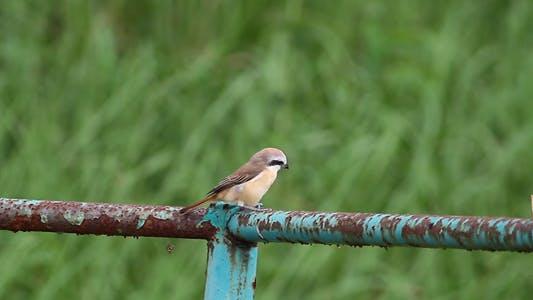 Thumbnail for Brown Shrike By The Roadside