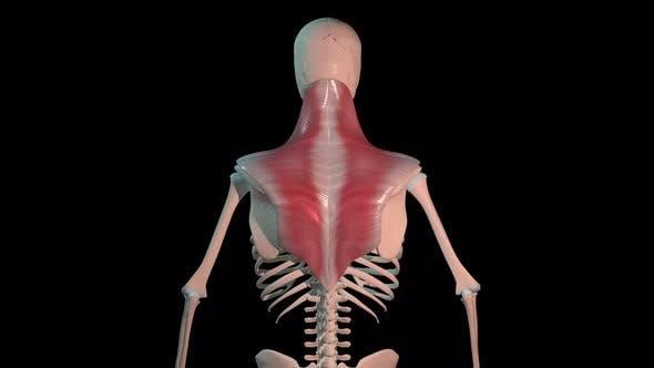 Trapezius Muscles Full Rotation Loop