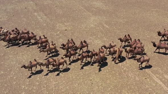 Aerial View of Bactrian Camels in Mongolia